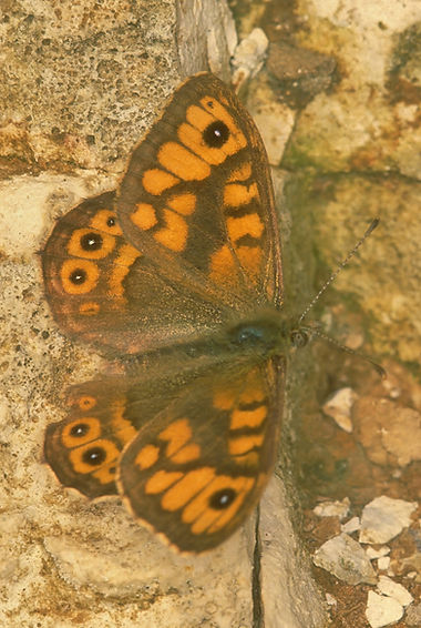 Wall Brown Portsdown Hill.jpg