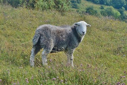 Herwick Sheep OWH August 2015.jpg
