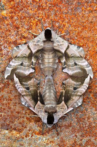 Eyed Hawk Moths mating.jpg
