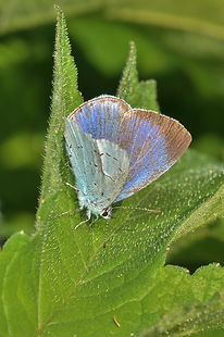 Female Holly Blue May 2015.jpg