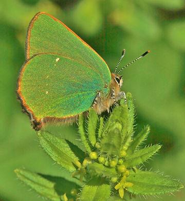 green hairstreak.JPG