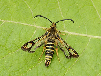 29381043763-six-belted-clearwing-moth.jp