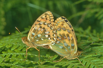 Mating Dark-Green Fritillaries (1024x676