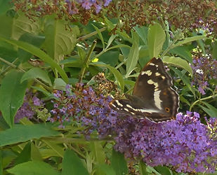 Female Purple Emperor on Buddleia.jpg