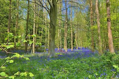 Bluebells in Hyden Wood.jpg