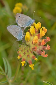Small Blue on Kidney Vetch (682x1024).jp