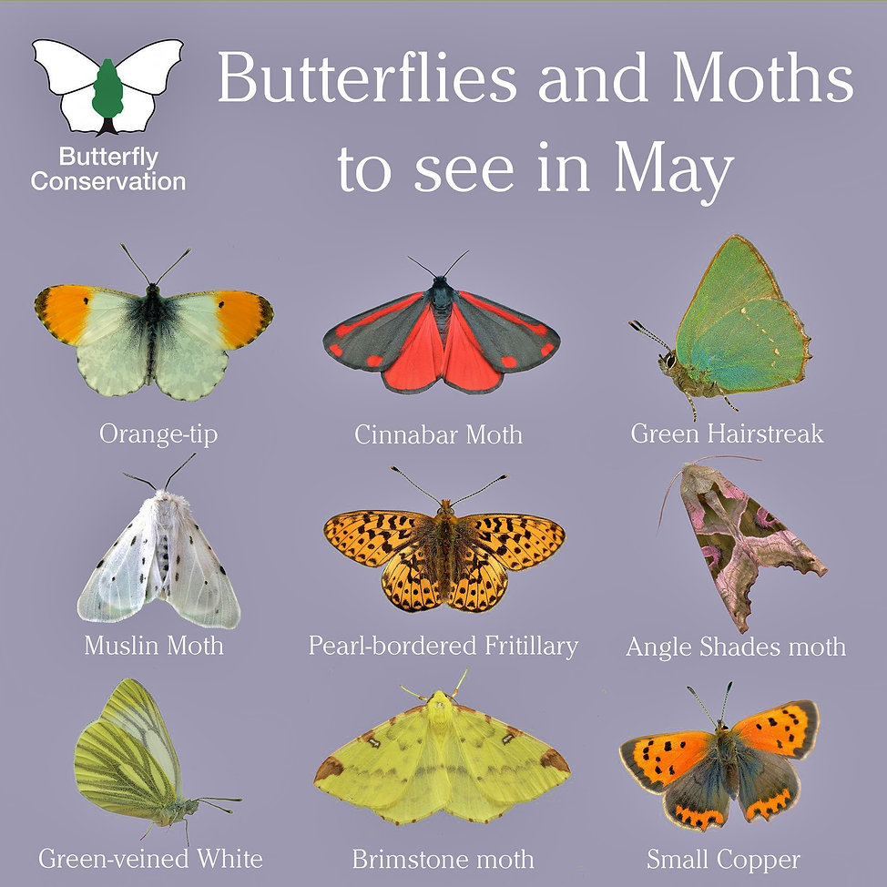 What Butterflies and moths to see in May