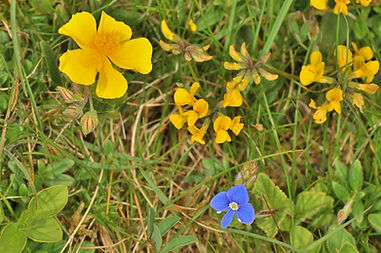 Common Rock Rose and Horse-Shoe Vetch (1024x680).jpg