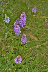 Common Spotted Orchids Butser Hill June