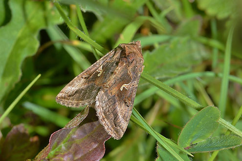Silver-Y Moth.JPG