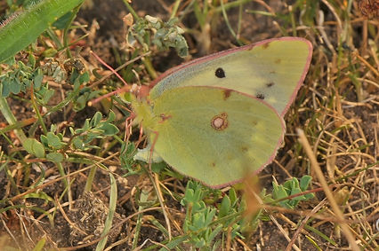 Female Clouded Yellow laying eggs.jpg