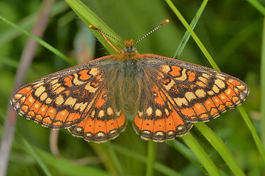 Female Marsh Fritillary.jpg