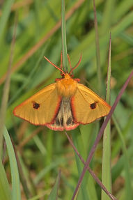 Clouded Buff New Forest 2014.jpg