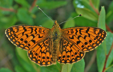 Small -Pearl Bordered Fritillary(male).j