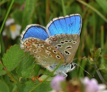Adonis Blue OWH 2012.jpg