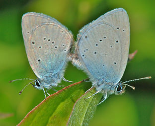 Small Blue Kevin photo1.JPG