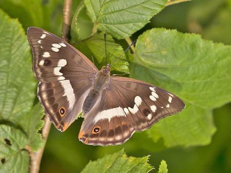 Female Purple Emperor 5.jpg