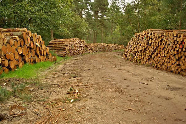 Logging_in_Wykeham_Forest_-_geograph.org