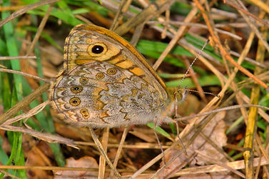 Wall Brown at Rest.jpg