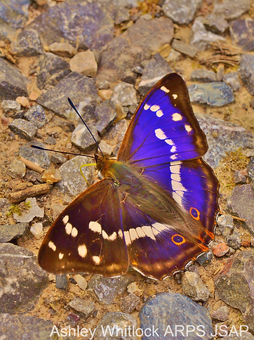 Purple Emperor cOPYRIGHT IMAGE.png