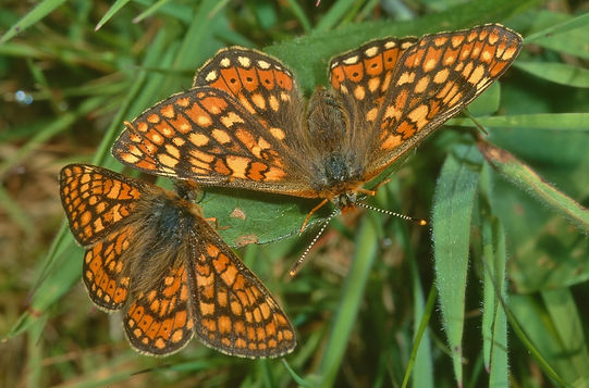 Male and Female Marsh Fritillary (1024x6
