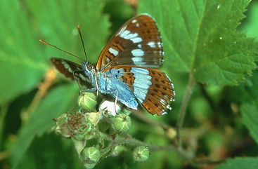 Male White Admiral on Blackberry flowers