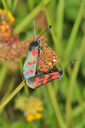 Six Spotted Burnet Moth.JPG