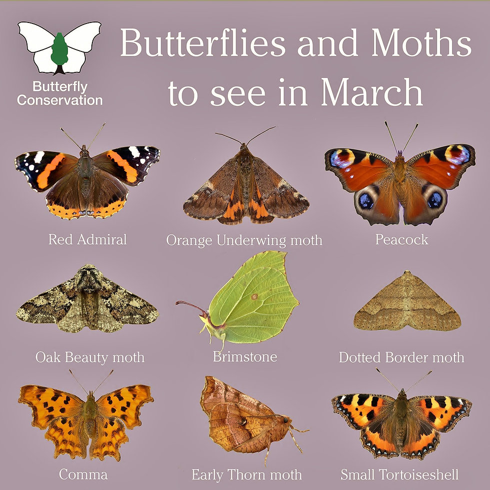 Butterflies to see in March.jpg