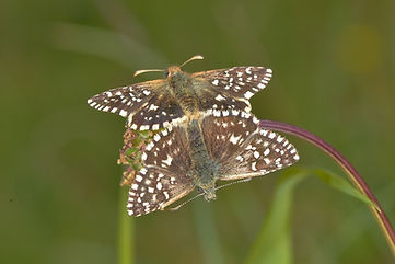 Mating pair of Grizzled Skippers.jpg