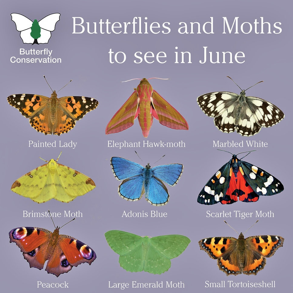 What Butterflies and Moths to see in Jun