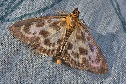 magpie moth.jpg