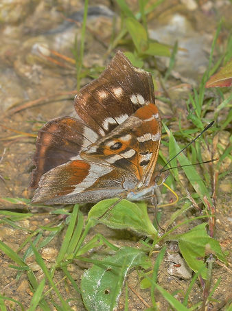 Male Purple Emperor West Harting Down (5
