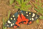 Scarlett Tiger Moth West Wood.jpg