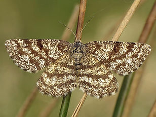 Common Heath Moth.jpg
