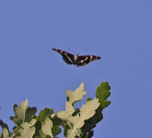 Purple Emperor over the Oaks.jpg