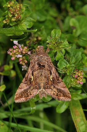 Silver 'Y' Moth.jpg
