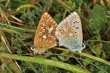 Chalkhill Blue mating.jpg