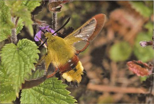 Small Broad Bordered Bee Hawk Moth0002.j