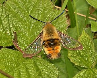 1982 Narrow-bordered Bee Hawk 17.05.2015 Porton Down TJN.jpg
