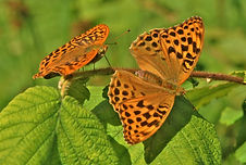 Silver-Washed Fritillary male and female