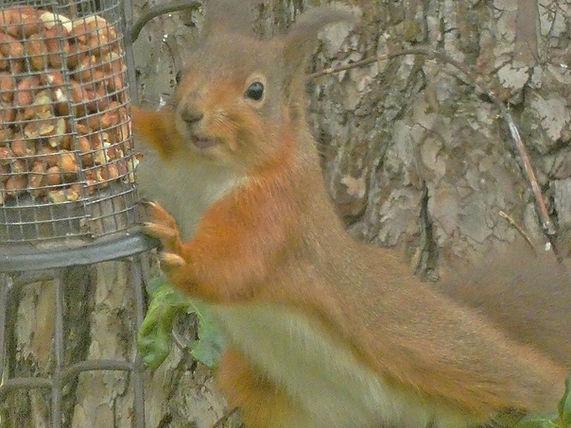 Red Squirrel Nikki Kownacki.jpg