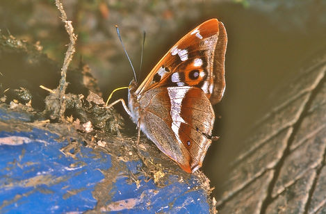 Purple Emperor and a tyre..jpg