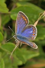 Female Common Blue (634x955).jpg