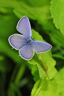 Long-Tailed Blue Kevin Photo.JPG