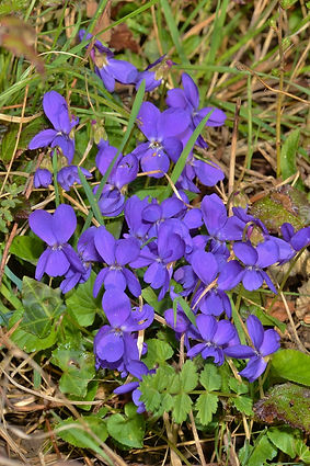 Common Dog Violet (682x1024).jpg