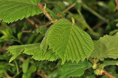 Elm Leaves (2).JPG