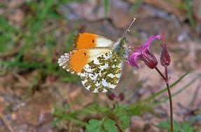 Male Orange Tip (1024x671).jpg