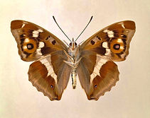 1-purple-emperor-butterfly-natural-histo