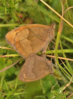 Meadow Brown Mating.jpg