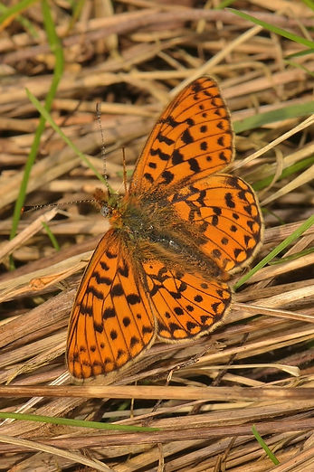 Pearl-Bordered Fritillary Oxenbourne Dow